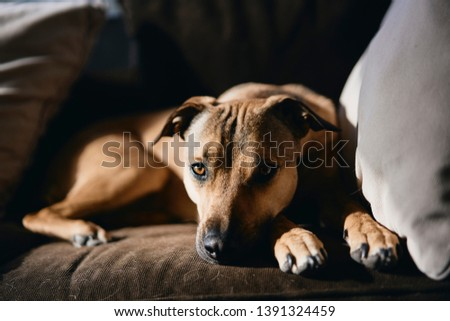 Dog resting on a brown couch with grey pillows.                 #1391324459