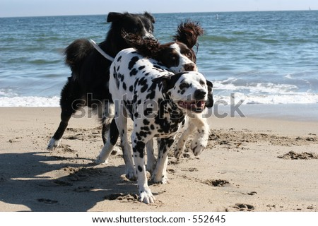 3 dogs running on the beach - stock photo