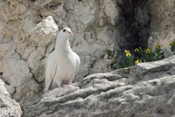 Dove sitting on the block Wailing Wall in Jerusalem.
