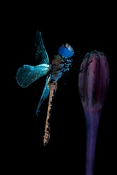 dragonfly in fluorescent glow or ultraviolet light close up on black background