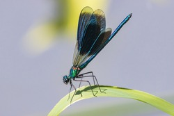 dragonfly specimen also called blue bridesmaid