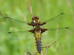 dragonfly with transparent wings sits on a stem