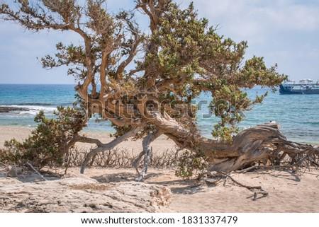 dried up cedar  tree ,white sand,blue water,beach ,Chrissi isla