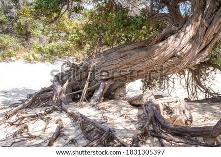 dried up cedar  tree ,white sand,blue water,beach ,Chrissi island.