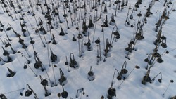 Drooping Sunflowers In Winter. Aerial View. Quadrotor Filming