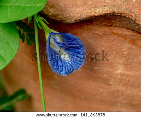 Droplets on petals of Asian pigeonwings,beside flower pot, Clitoria ternatea, bluebellvine, blue pea, butterfly pea, cordofan pea and Darwin pea.