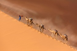 Drover leads a camel Caravan in the Sahara desert during a desert storm in Morocco