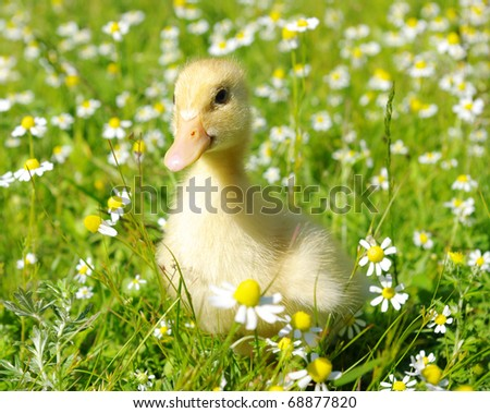 duck in the grass