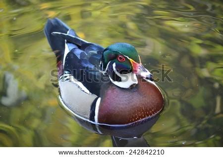Duck on Water, Carolina Duck, Bird, Duck, Bird on Water, Green, Male Wood Duck, Duck Swimming, Bird Swimming, Duck