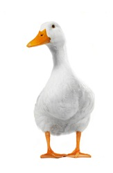 duck white on white a background