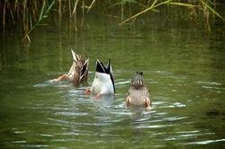 3 ducks diving in water