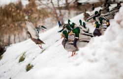 Ducks in the winter park