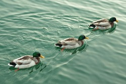 3 ducks swimming together in one direction on the lake, Italy