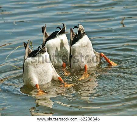 Ducks Working as a Team