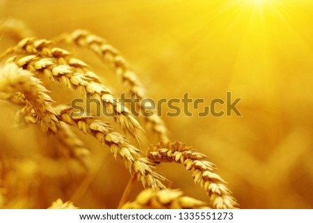 Ears of golden wheat close up. Beautiful nature sunset field background. Rural scenery of meadow under shining sunlight.  #1335551273