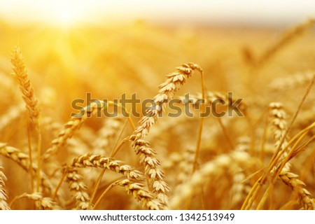 Ears of golden wheat close up. Beautiful nature sunset field background. Rural scenery of meadow under shining sunlight.  #1342513949