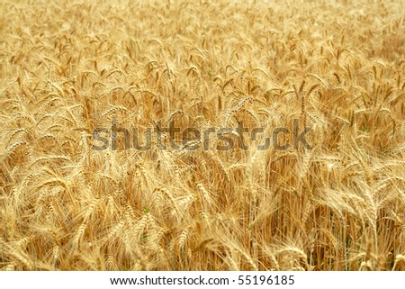 Ears of wheat #55196185