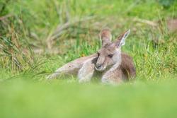 Eastern Grey Kangaroo in Melbourne, Australia
