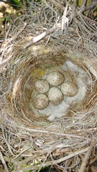 5 eastern loggerhead shrike (Lanius ludovicianus) eggs in nest, brown and white speckled, straw hay and spanish moss nesting material