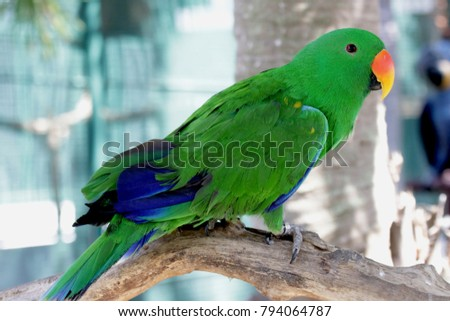 Shutterstock  Eclectus Parrot is unusual in parrot family for extreme sexual dimorphism of the colours of the plumage;  male having a bright emerald green plumage and female a bright red and purple /blue plumage.