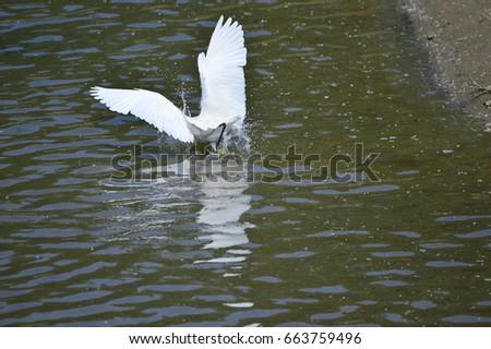 egrets #663759496