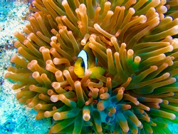 egypt Red sea underwater colourfull sealife. anemone fish hidding in coloury sealife.