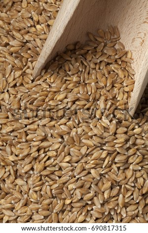 Einkorn wheat seeds on a wooden spoon