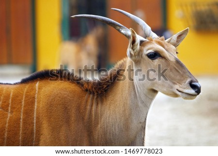 Eland antelope (Oryx Taurotragus scientific name) can grow up to 3 m and weighs 900 kg. Living up to 25 years. This antelope in nature lives in parts of south Africa.