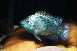 Electric Blue Texas Cichlid from Escondido