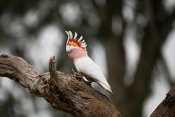 Elegant walk of Major Mitchell's cockatoo - Elegant walking Major Mitchell's cockatoo in outback Victoria Australia