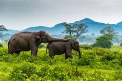 Elephant mom takes care of baby elephant at Minneriya,s National Park, Sri Lanka