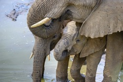 ELEPHANT TEXTURES . At water, the younger more vulnerable members drink from between the legs of the mature animals. this affords some protection against predation by large crocodiles.