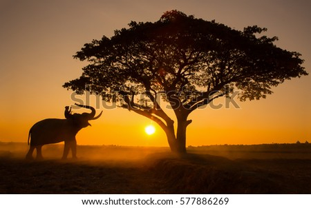 [ELEPHANT THAI] Silhouette elephant on the background of sunset,elephant thai in elephant village surin thailand.