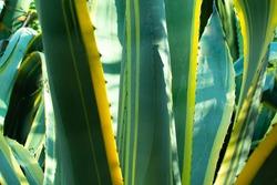 entury plant or Agave americana in Riva del Garda, Italy