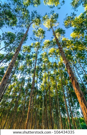eucalyptus forests are very high up