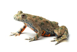 European Fire-bellied Toad (Bombina bombina) on white