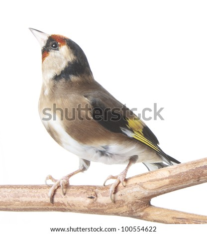 European Goldfinch perched isolated on white