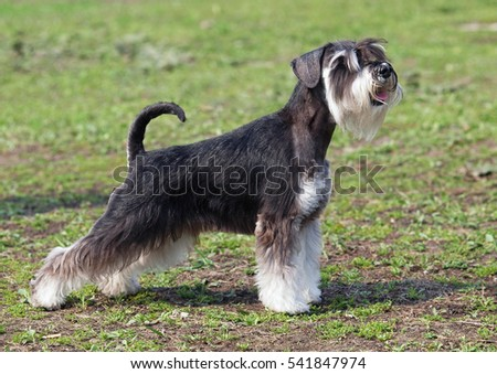 Excellent exterior of the mittelschnauzer on a natural green background #541847974