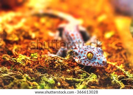 exotic animal tokay gecko lizard #366613028