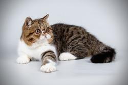 exotic bicolor cat