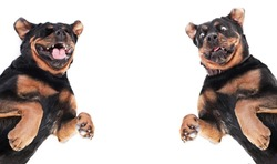 Expressive dog - rottweiler in shock with surprised expression, laughing dog, two emotions of a black dog on a white background, rottweiler dog make faces