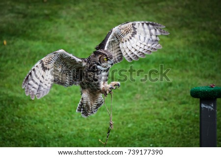 """""""Eyes on the Prize"""" - A trained great horned owl swoops in to grab a piece of meat left on the perch. #739177390"""