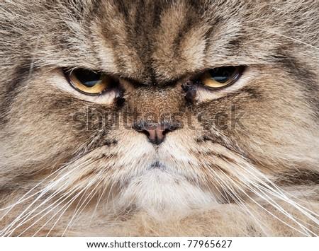 face of cat