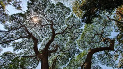 Fast-growing trees are different from other trees. When the rainy season has passed, this type of tree grows faster than other trees. Until receiving the name, also known as the rain tree.