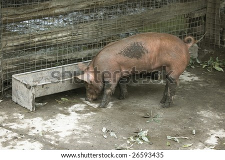fat dirty pig on a farm pen /   domestic animal