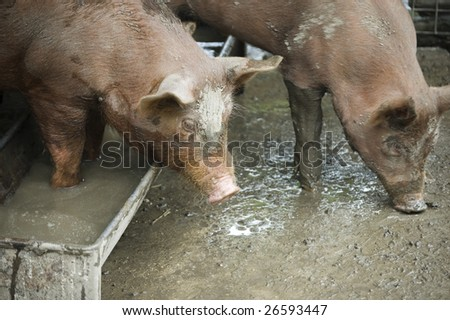 fat dirty pig on a farm pen /   domestic animal