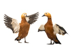 female and male Beautiful bright red duck (Ogar) isolated on white background (In Slavic mythology and Buddhism, this bird was considered sacred)
