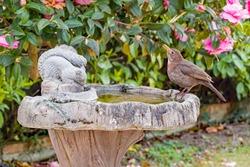 Female black bird (Turdus merula) enjoying a drink from an ornate concrete bird bath in a British garden