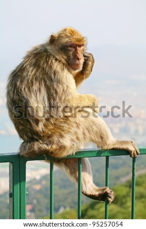 Female Gibraltar Monkeys or Barbary Macaques sitting on the green fence that is from the lookout of the city on top of the rock above Gibraltar.
