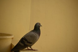 feral pigeons(columba livia) also called city doves city pigeons or street pigeons on a balcony railing.